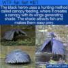 WTF Fun Fact – Black Heron's Canopy Feeding
