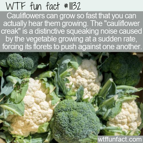 WTF Fun Fact - Cauliflower Creak