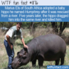WTF Fun Fact – Hippos Are Not Pets