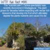 WTF Fun Fact – Suicidal Palm Tree