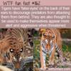 WTF Fun Fact – Tigers' False Eyes