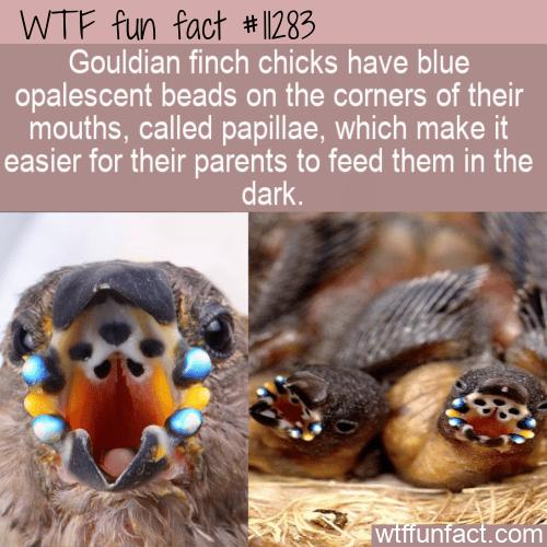 WTF Fun Fact - Gouldian Finch Papillae