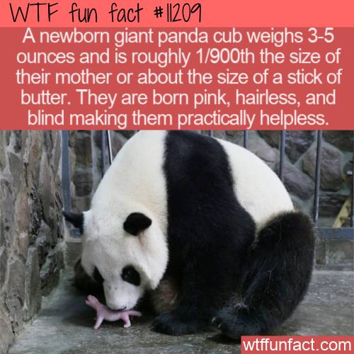 WTF Fun Fact - Newborn Baby Panda